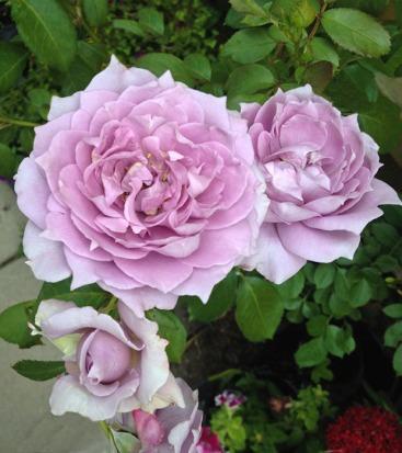 Poseidon rose, also called Novalis