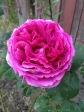 Othello Rose