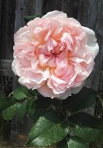 William Morris Rose blooming in my garden, 2016.