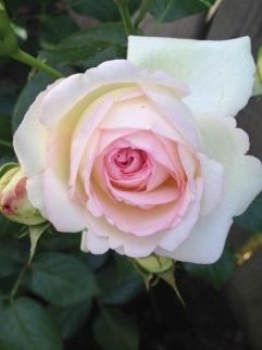 Eden rose - climbing rose