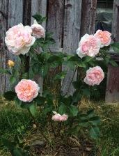 William Morris rose blooming in my garden.