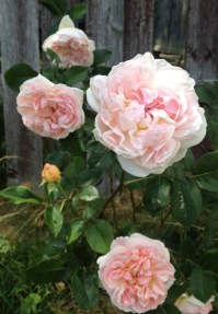 William Morris rose blooming in my garden. They have delicate smell and the flowers are pastel shades of pink and peach colour. It is one of the first roses I started to grow in my garden.