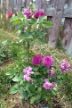 Ebb Tide rose in my garden the first year I have planted it.