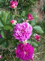 Ebb Tide rose - close up
