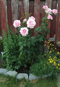 Memorial Day rose in the first year I have purchased it (summer 2015). It keeps changing the look of the flowers. It is so far one of the most reliable roses in my garden - it blooms practically almost all the time till winter. At the moment I consider it as a queen of my Rose Garden.