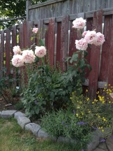 Memorial Day rose in the second year since I have it in my garden. It keeps growing and blooming all the time from spring till winter. I highly recommend it as a very reliable rose.