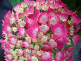 A beautiful pink hydrangea. There were many hydrangeas of various colours blooming at this time beside houses in the Lake Garda area and many other places in Northern Italy. Also I have noticed many hydrangeas blooming in the close by Lugano in Switzerland when I have visited it then in June.