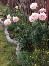 Memorial Day rose in my garden in the beginning of July, 2016.