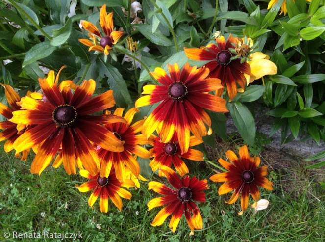 A close-up of the yellow orange Rudbeckia flowers. They come in various designs - some have more orange than others.
