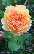 A beautiful orange-yellow rose blooming in front of the terrace. I don't know what is its name.