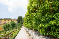Orange trees growing along the path leading from one of the terraces, Villa Garzoni gardens, Italy.