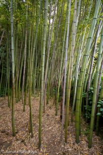 Bamboo forest in Villa Garzoni gardens, Italy.